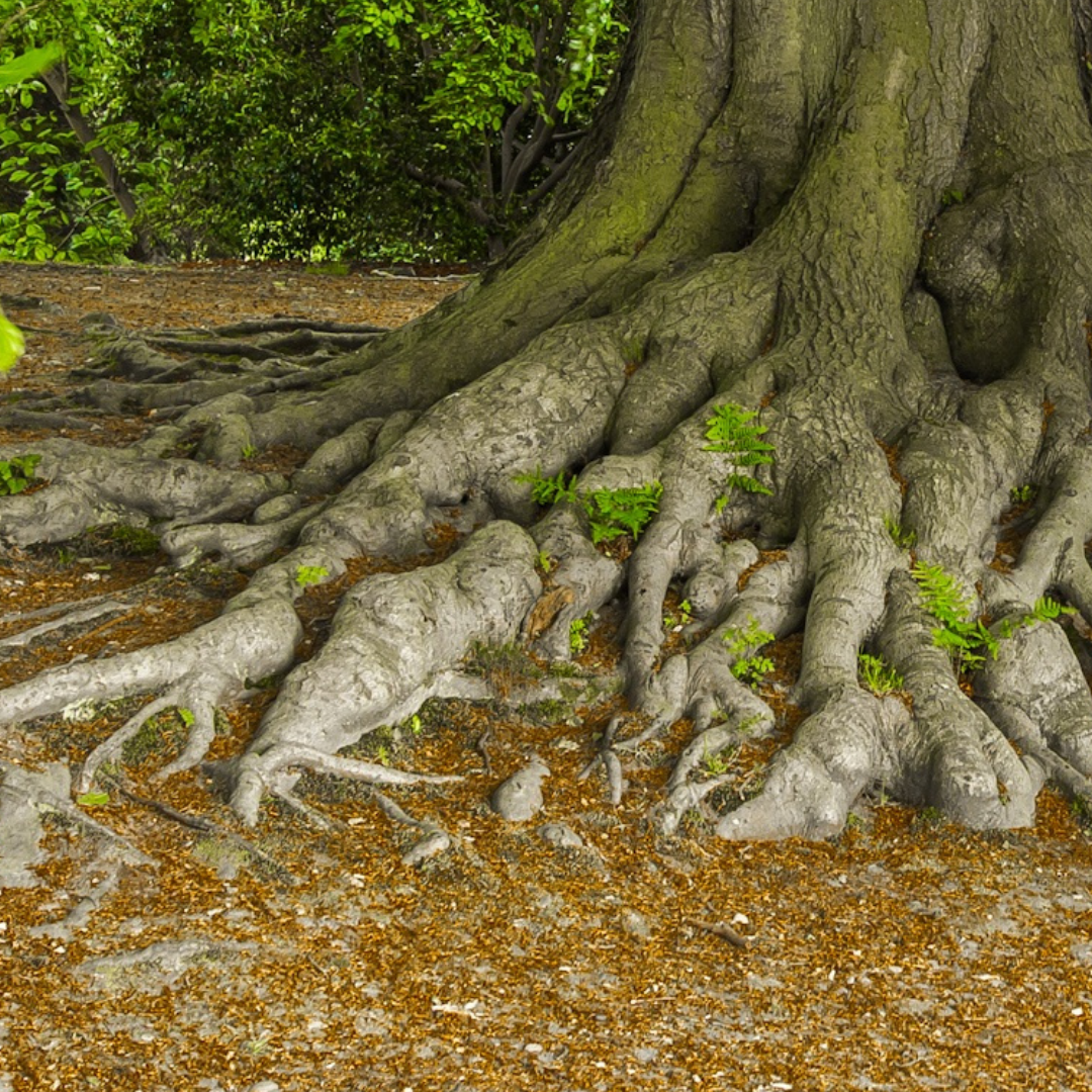 roots of a tree above the ground